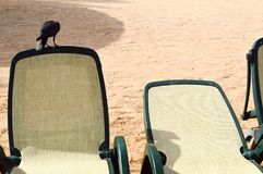 A black beautiful crow with a meal in its mouth sits on a white-and-green woven plank bed next to another place for tourists to re. Lax on the beach against a Royalty Free Stock Photos