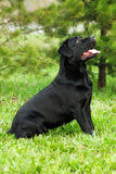 Black beautiful dog breed Labrador Retriever sits in the summer Royalty Free Stock Images