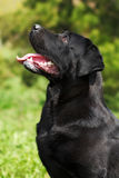 Black beautiful dog breed Labrador Retriever sits in the summer Royalty Free Stock Photo