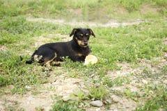 Black beautiful dog Stock Images