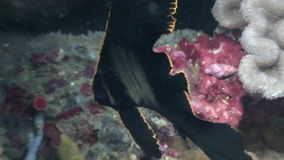 Black beautiful fish on background of coral underwater in ocean of Philippines. stock footage