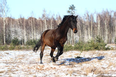 Black beautiful holsteiner galloping free Stock Photography