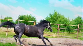 Black beautiful horse galloping on the green grass along the iron fence in the paddock, stops abruptly and changes