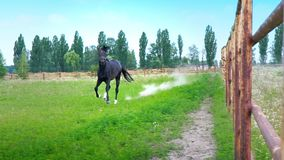 Black beautiful horse galloping on the green grass along the iron fence in the paddock, stops abruptly and pokes its