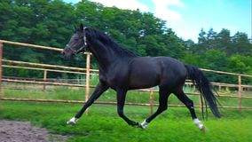 Black beautiful horse galloping on the green grass in the paddock