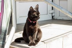 Black beautiful and proud cat in a red collar royalty free stock images