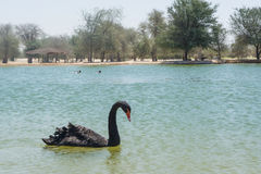 Black beautiful swan in the lake at oasis Royalty Free Stock Images