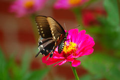 Black Beauty. Butterfly on flower royalty free stock images