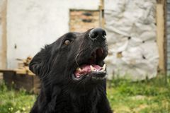 Black Beauty German Shepherd. The best friend of man from among. The animals Stock Image
