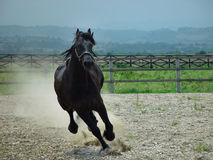Black beauty horse running royalty free stock photos