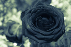 Black beauty. Look at this beauty. The majesty of roses Royalty Free Stock Image
