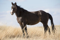 Black Beauty Standing alert Royalty Free Stock Images