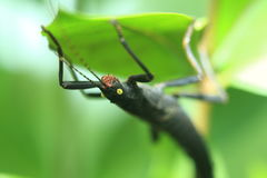 Black beauty stick insect Stock Photo