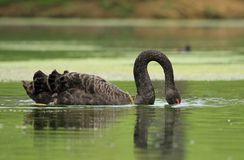 Black swan with head in water Royalty Free Stock Photo