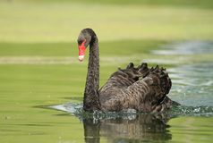 Black swan with red beak Royalty Free Stock Images
