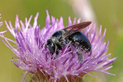 Black Bee Royalty Free Stock Image