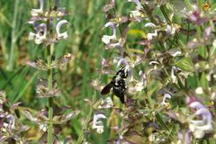 Black bee carpenter on sage flowers stock images