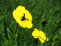Black bee feeding on a yellow flower stock images