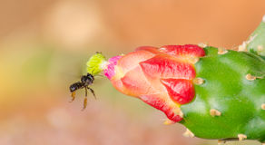 Black bee and flower. A black bee flying towards a cactus flower Stock Image