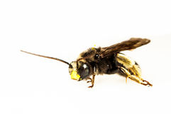 Black bee isolated in white Stock Photos