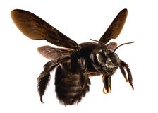 Black bee, large size, with white background isolated. stock photo