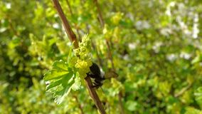 Black bee on tree stock video