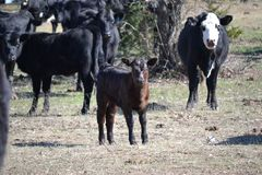 Black Beef Calf in the Pasture stock images