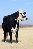 Black Beef Cow. Beef cow, Angus and Hereford cross, black with white motley face, dry brown winter pasture on sunny day Royalty Free Stock Image