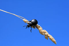 Black beetle. In a farming field Stock Images