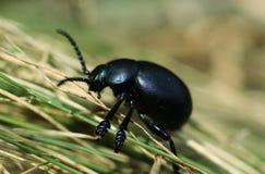 Black beetle Royalty Free Stock Photos