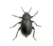 Black beetle Stock Images