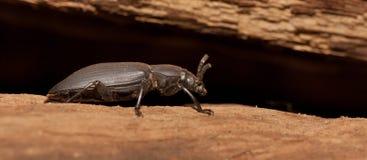 A black beetle Stock Photo