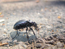 Black beetle Royalty Free Stock Photo