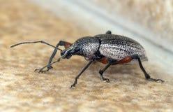 Black beetle Stock Image