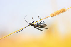 Black beetle with a big mustache hanging on a blade of grass Royalty Free Stock Image