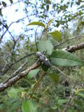Black beetle with bright spots and long antennae on branch in Swaziland Stock Photography