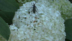 Black beetle bug with long mustache walk on flower white blooms stock footage