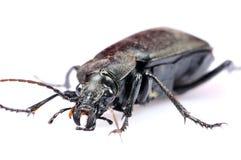 Black beetle closeup Stock Images