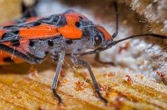 Black beetle closeup Royalty Free Stock Photos