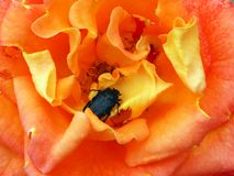 Black Beetle in Colourful Bright Orange Rose stock photography