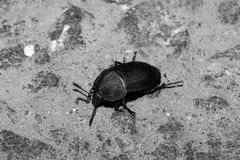 The black beetle crawls along the stone surface. In a black and white version. Macro Royalty Free Stock Photo