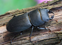 Black beetle (Dorcus parallelipipedus) Royalty Free Stock Photos