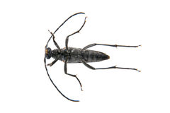 Black beetle from family Cerambycidae on white background Royalty Free Stock Photo