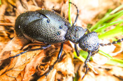 Black beetle in the forest. Of Bosnia Royalty Free Stock Images