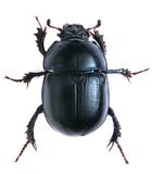Black beetle isolated on white background. Macro Stock Photography