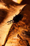 Black beetle on a leaf Royalty Free Stock Photography