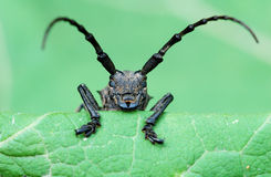 Black beetle with long tentacles Stock Images