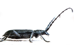 Black beetle Royalty Free Stock Image