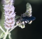 Black beetle in nature. macro. In the park in nature Royalty Free Stock Image