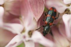 Black beetle on pink flowers. In Colorado stock photo